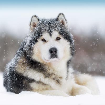 slædehund hvalp