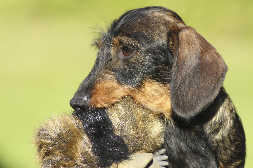 RUHÅRET MINIATURE GRAVHUND - find din nye hvalp på købhund.dk