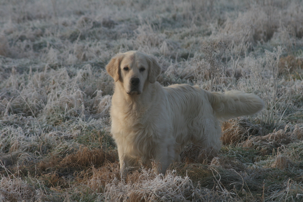 Golden Retriever