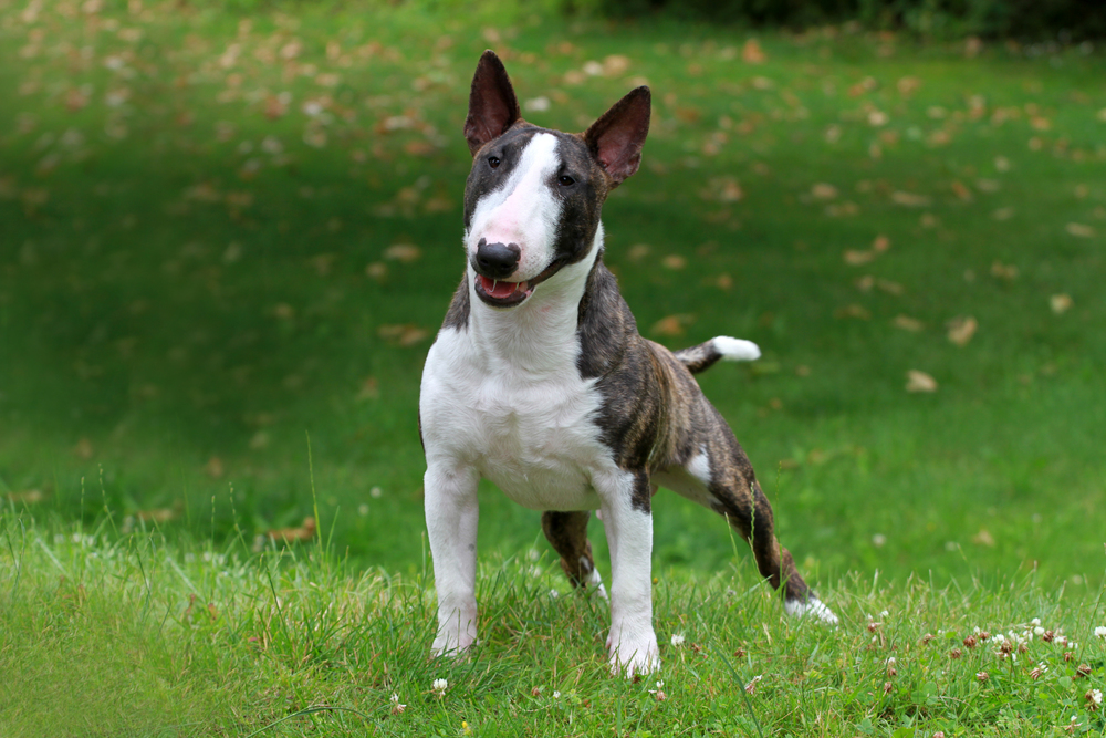 Bull terrier, miniature